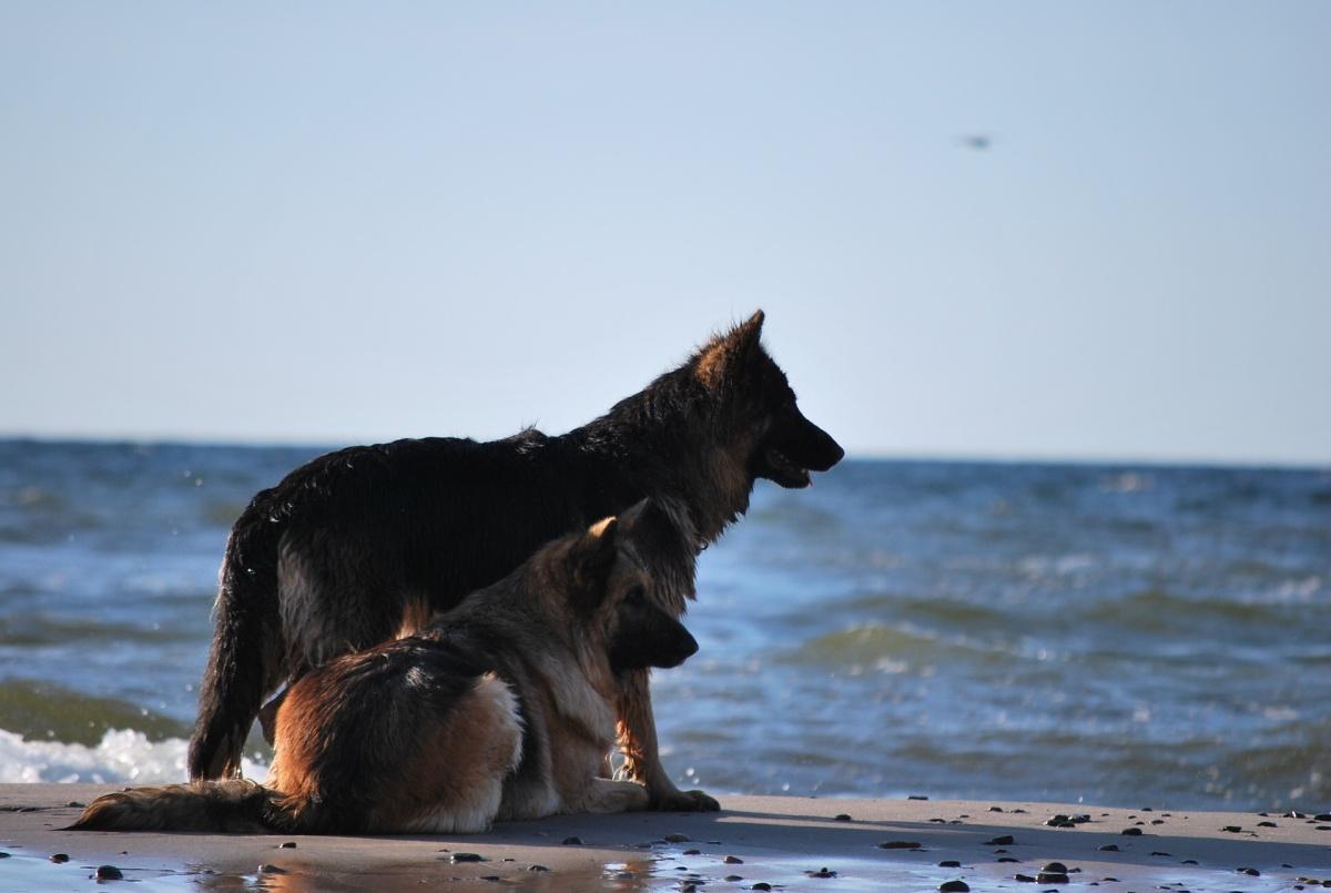 Zwei Schäferhunde an der Ostsee