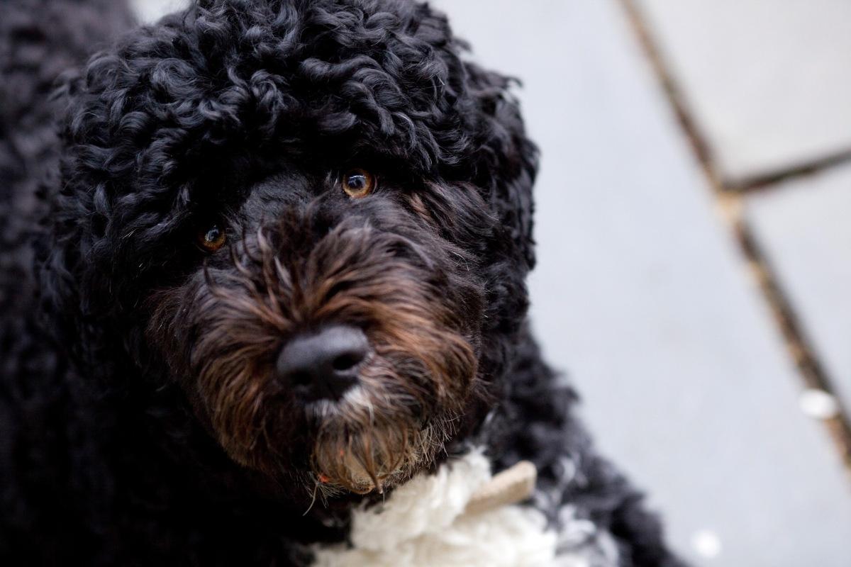 Portugisier Wasserhund