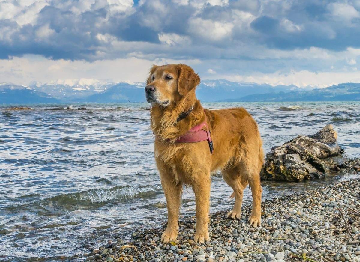 Hund am Ufer des Bodensees
