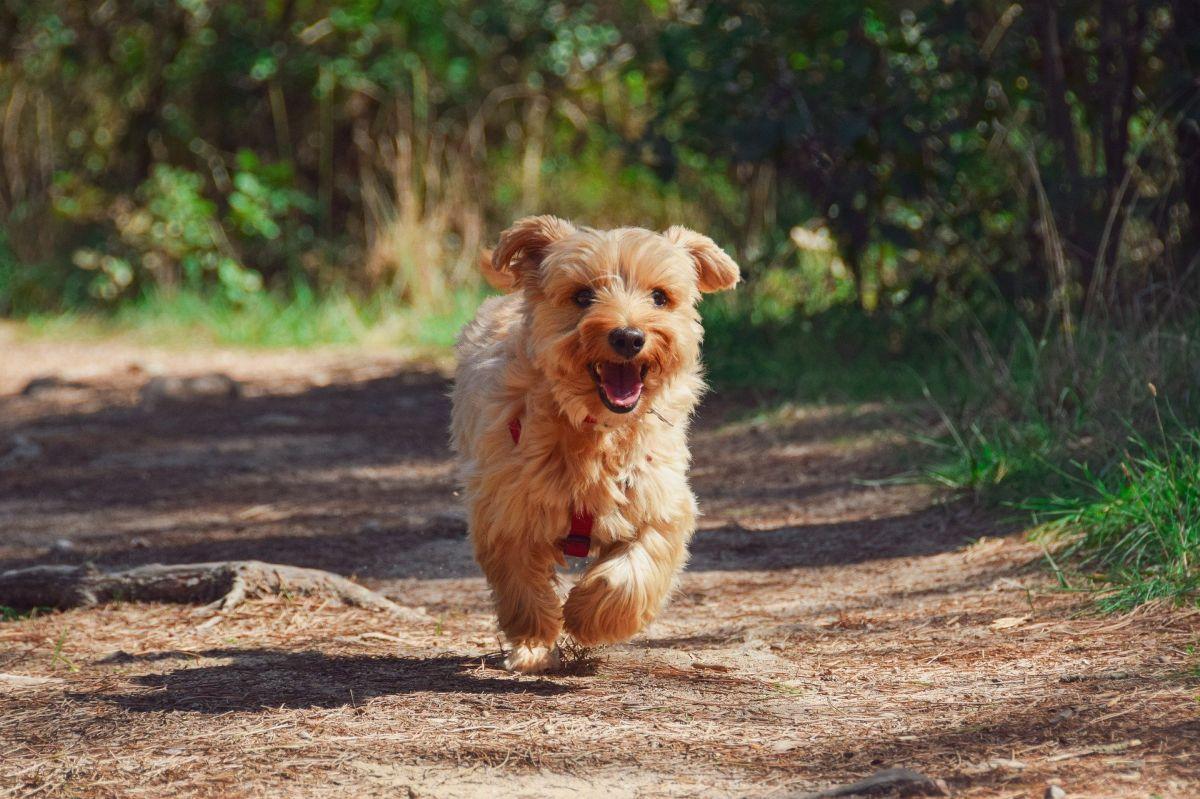 Kleiner rennender Hund