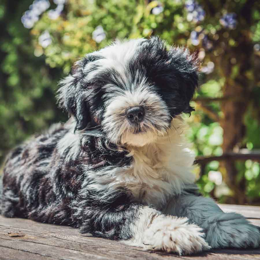 Tibet Terrier