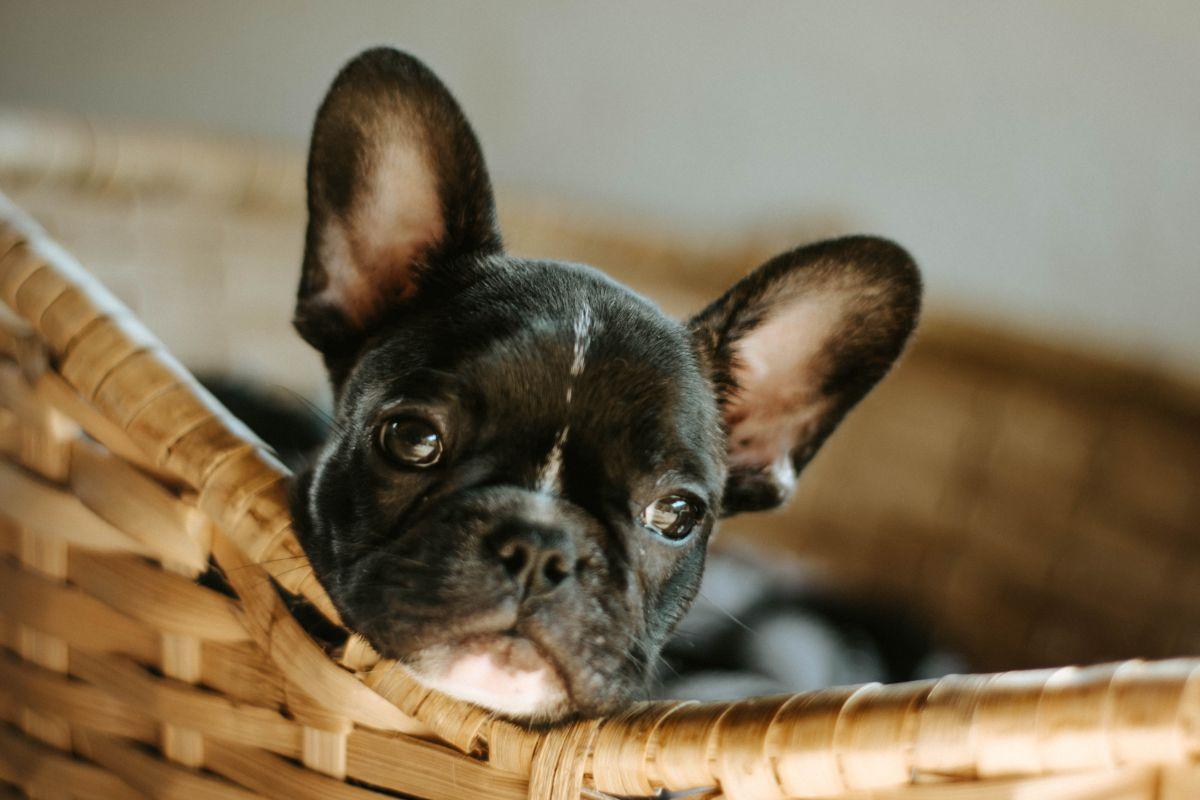 Schwarzer kleiner Hund im Körbchen