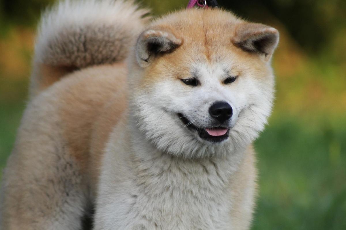 Ruhige Hunderasse Akita