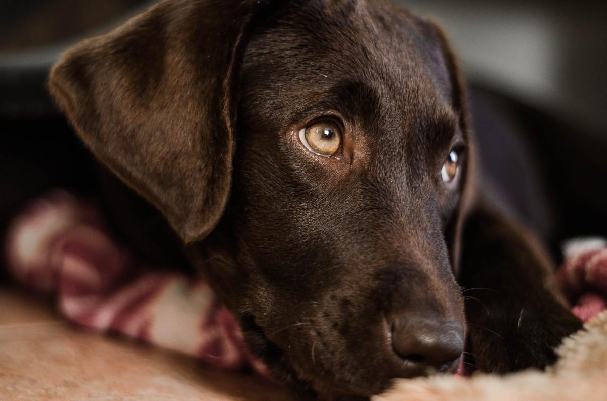 Ruhige Hunderasse Labrador