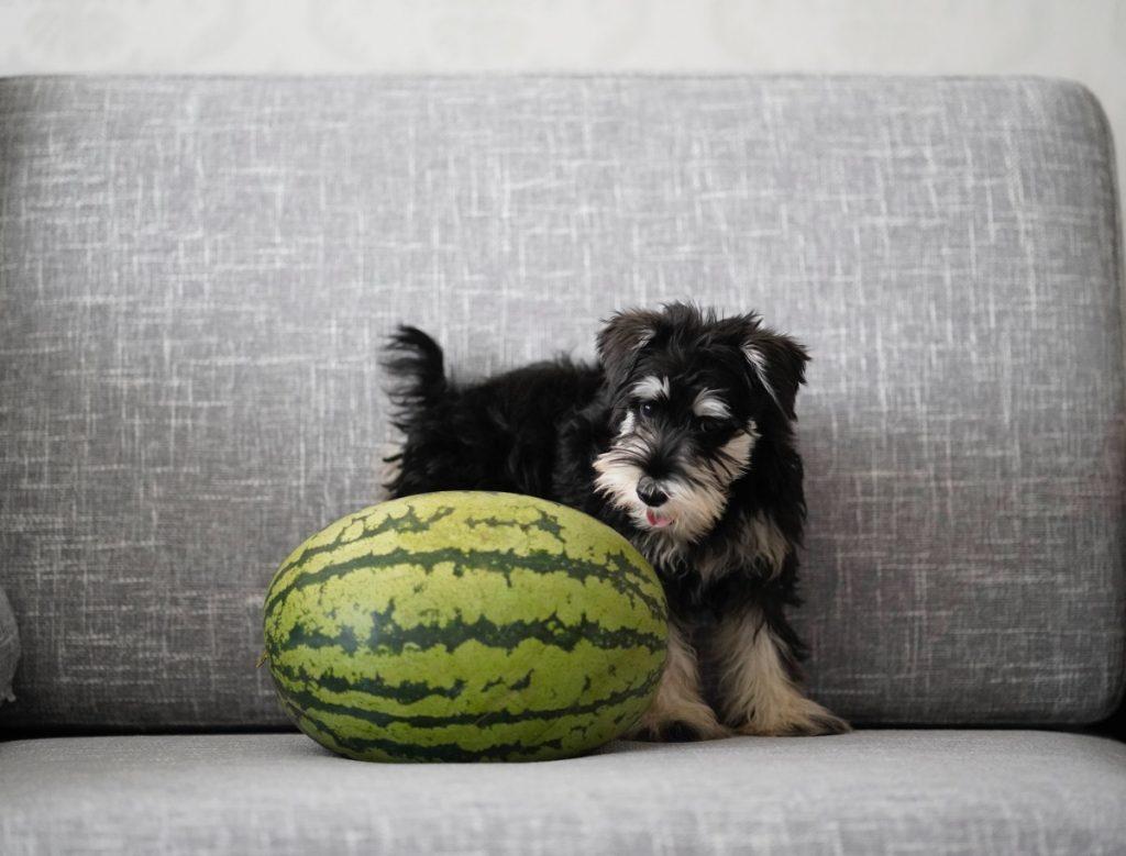 Hund mit Wassermelone