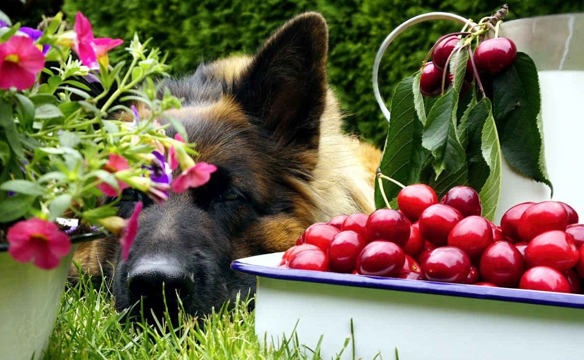 Dürfen Hunde Kirschen essen